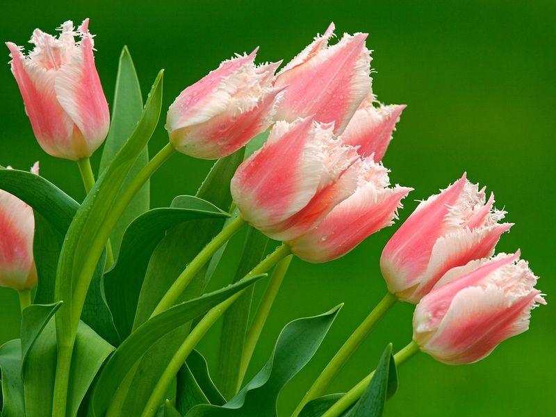 Florist_Tulips